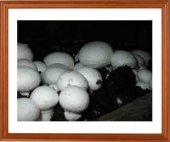 Kültür Mantarı Tohumu 200 Gr Beyaz Şapkalı Mantar Miseli 1000 Grm Torf Hediye