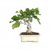 Bodur Yeşil İncir Bonzai Ağacı Tohumu 5 Tohum Bonsai Ağacı Tohumu