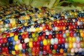 Nadir Renkli Hint Mısırı Tohumu 3 Tohum Mısır Tohumu + Süpriz Hediye