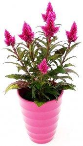 Karışık Celosia Horozibiği Çiçeği 10 Tohum + Süpriz Hediye Tohum