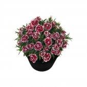 çin Karanfili Tohumu Karanfil Çiçeği Tohumu 10 Tohum +saksı+toprak