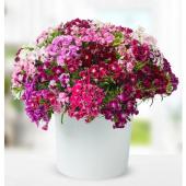 Hüsnü Yusuf Çiçeği Tohumu 10 Tohum Hüsnüyusuf + Süpriz Tohum