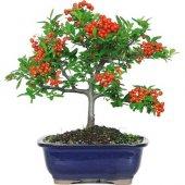 Bodur Kızılcık Bonzai Ağacı Tohumu 3 Tohum Bonsai Tohumu