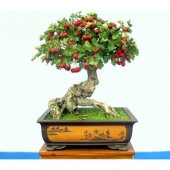 Ithal Kırmız Alıç Bonzai Ağacı Tohumu 5 Tohum Bonsai Ekim Seti