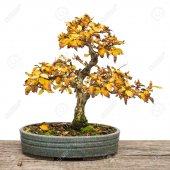 Ithal Sarı Alıç Bonzai Ağacı Tohumu 5 Tohum Bonsai Ekim Seti