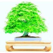 Bodur Japon Redwood Bonzai Ağacı Tohumu 5 Tohum Bonsai Tohumu