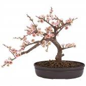 Ithal Bodur Cherry Blossom Bonzai Ağacı Tohumu Bonsai Ekim Seti