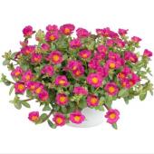 Ipek Şellaki Çiçeği Tohumu 10 Tohum +saksı+toprak Kombin