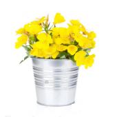 Ezan Çiçeği Gece Mumu +saksı+toprak+ 10 Çiçek Tohumu Tohum