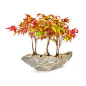 Bodur Cennet Bonzai Ağacı Tohumu 5 Tohum Bonsai...