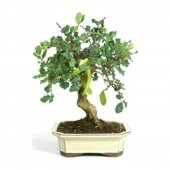 Ithal Bodur Keçi Boynuzu Bonzai Ağacı Tohumu 5 Tohum Bonsai Tohumu