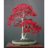 Ithal Bodur Acer Rubrum Bonzai Ağacı Tohumu 5 Tohum Bonsai Tohumu