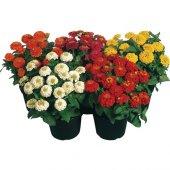 Karışık Zinna Çiçeği Tohumu 5 Tohum Çiçek Ekim Seti + Saksı+toprak