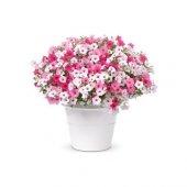 Petunya Çiçeği Tohumu 20 Tohum + Süpriz Hediye Tohum
