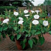 Gece Güzeli Çiçeği Tohumu 5 Tohum + Süpriz Hediye Tohum
