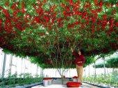 Italyan Domates Ağacı Tohumu 15 Tohum + Süpriz