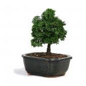 Bodur Selvi Bonzai Ağacı Tohumu 5 Tohum Bonsai Ağacı Ekim Seti