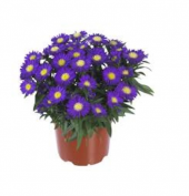 Dilber Kipriği Çiçeği Tohumu 10 Tohum + Saksı+toprak Kombin