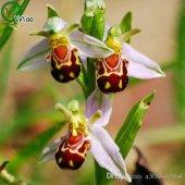 Nadir Arı Orkide Tohumu Orkide Çiçeği Tohumu + Süpriz