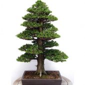 Bodur Lübnan Sediri Bonzai Ağacı Tohumu 5 Tohum Bonsai Tohumu