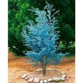 Alman Mavi Okaliptüs Ağacı Tohumu 5 Tohum