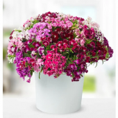 Hüsnüyusuf Çiçeği Tohumu 10 Tohum Hüsnü Yusuf Saksı+toprak