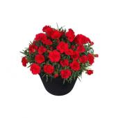 Karanfil Çiçeği Tohumu 10 Tohum +saksı+toprak Kombin