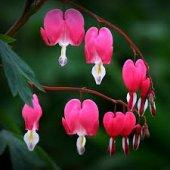 Nadir Kanayan Kalpler Dicentra Çiçeği Tohumu 5 Tohum +süpriz