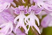 Insan Orkide Tohumu Çiçek Tohumu 5 Tohum + Süpriz Hediye Tohum