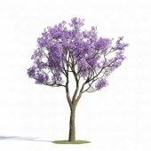 Ithal Jacaranda Mımosıfolıa Ağacı Tohumu 10 Tohum Jakaranda