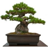 Bodur Fıstık Çamı Bonzai Ağacı Tohumu...