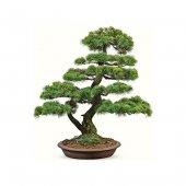 Bodur Karaçam Bonzai Ağacı Tohumu Bonsai Ağacı Ekim Seti