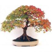 Ithal Bodur Çınar Bonzai Ağacı Tohumu Bonsai Ağacı Ekim Seti