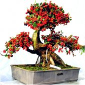Bodur Karadut Bonzai Ağacı Tohumu 5 Tohum Bonsai Tohumu Ekim Seti
