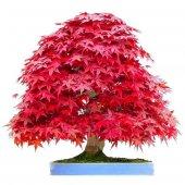 Ithal Bodur Red Maple Bonzai Ağacı Tohumu Bonsai Ekim Seti