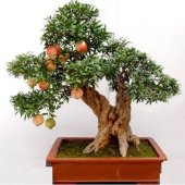 Ithal Bodur Nar Bonzai Ağacı Tohumu 5 Tohum...