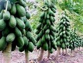 Tropikal Meyve Papaya Ağacı Tohumu 3 Tohum + Hediye Tohum