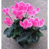Seklemen / Şıklamen Çiçeği ( Karışık Renkli )