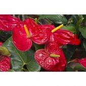 Antoryum Çiçeği-2
