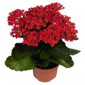 Kalançoe Çiçeği ( Kırmızı )