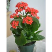 Kalançoe Çiçeği ( Kırmızı )-2
