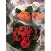Kalançoe Çiçeği ( Kırmızı )-3
