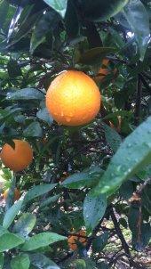 Finike Portakalı 1 Koli (  Yaklaşık 11 kg)-5