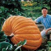 Süper Paket 15 Adet Tohum İthal Atlatic Giant Dev Kabak Tohumu-4