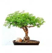 Gümüş Akasya Bonsai Ağacı Tohumu 5 Bonzai Ağacı Tohumu