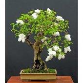 Nadit İthal Beyaz Gül Bonsai Ağacı Tohumu Bonzai Tohumu Seti