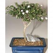 Nadit İthal Beyaz Gül Bonsai Ağacı Tohumu Bonzai Tohumu Seti-2