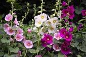 Eko Paket 50 Tohum Hatmi Çiçeği Tohumu Gülhatmi Çiçeği Çiçek Tohumu