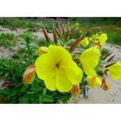 Ezan Çiçeği Tohumu 1 Oenothera (Takribi 50 Tohum)