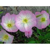 Ezan Çiçeği Tohumu 2 Oenothera (Takribi 50 Tohum)